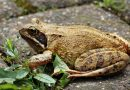 Translucent frogs seen for first time in 18 years
